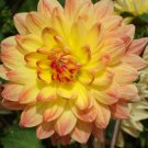 USA SELLER Sweet Potatoes Dahlia 10 seeds