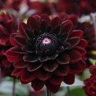 USA SELLER Black Blood Dahlia 10 seeds