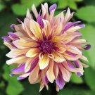 USA SELLER French Cancan Dahlia 10 seeds