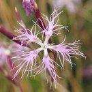 USA SELLER Fringed Pinks Dianthus Mix seeds