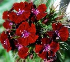USA SELLER Oeschberg Dianthus 100 seeds