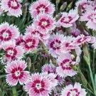 USA SELLER Superbus Rose Dianthus 100 seeds