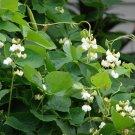 USA SELLER  White Hyacinth Vine 15 seeds