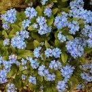 USA SELLERForget-Me-Not (Myosotis Sylvatica) 100 seeds