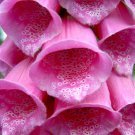 USA SELLER Pink Foxglove 1000 seeds