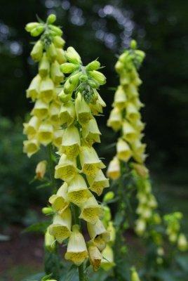 USA SELLER Yellow Foxglove 1000 seeds