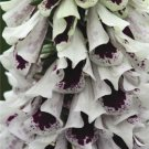 USA SELLER Pam's Split Foxglove 1000 seeds