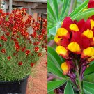 USA SELLER Spanish Dancer 50 seeds