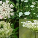 USA SELLER Queen Anne's Lace 50 seeds