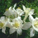 USA SELLER Songbird Dove White Columbine 25 seeds