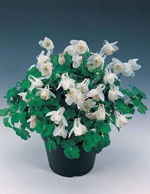 USA SELLER White Cameo Dwarf Columbine 25 seeds