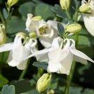 USA SELLER White Angel Columbine 25 seeds