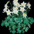 USA SELLER White Music Columbine 25 seeds