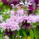 USA SELLER Mint Leaf Bee Balm  25 seeds