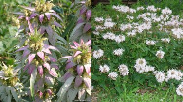 USA SELLER Mint Leaf Bee Balm  25 seeds
