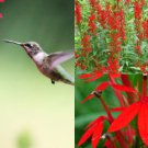 USA SELLER Cardinal Flower (Lobelia cardinalis)  25 seeds
