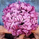 USA SELLER Purple Peony Poppy 100 seeds