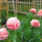 USA SELLER Pale Rose Peony Poppy 100 seeds