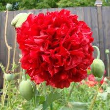 USA SELLER Red Peony Poppy 100 seeds