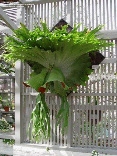 USA SELLER Staghorn Fern25  seeds