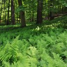 USA SELLER Hay Scented Fern 25  seeds