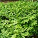 USA SELLER Royal Fern 25  seeds
