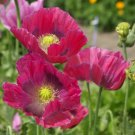 USA SELLER Hens & Chicks Poppy 100  seeds