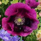 USA SELLER Lauren's Grape Poppy 100  seeds