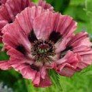 USA SELLER Manhattan Oriental Poppy 100  seeds