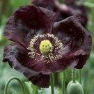 USA SELLER Midnight Oriental Poppy 100  seeds