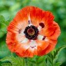 USA SELLER Pinnacle Oriental Poppy 100  seeds