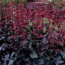 USA SELLER Black Obsidian Coral Bells 25  seeds