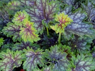 USA SELLER Marvelous Marbles Coral Bells 25  seeds