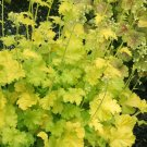USA SELLER Lime Rickey Coral Bells 25  seeds