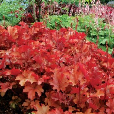 USA SELLER Firefly Coral Bells 25  seeds