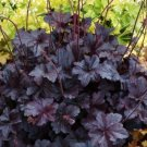 USA SELLER Purple Palace Coral Bells 25  seeds
