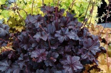 USA SELLER Purple Palace Coral Bells 25  seeds