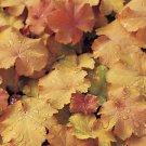 USA SELLER Caramel Coral Bells 25  seeds