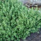 USA SELLER Evergreen german Thyme 1000 seeds