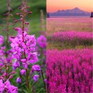 USA SELLER Fireweed 50 seeds