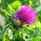 USA SELLER Milk Thistle 25 seeds