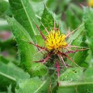 USA SELLER Blessed Thistle 25 seeds