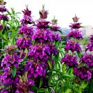 USA SELLER Lemon Bee Balm 100 seeds