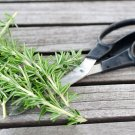 USA SELLER Rosemary 25 seeds