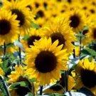 USA SELLER Wild Sunflower 25 seeds