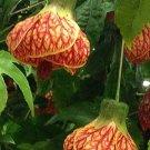 USA SELLER Red Tiger Abutilon 10 seeds