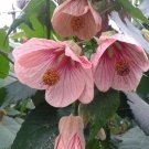 USA SELLER Rose Abutilon 10 seeds