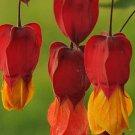 USA SELLER Meditation Abutilon 10 seeds