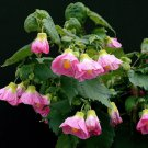 USA SELLER Talini's Abutilon 10 seeds