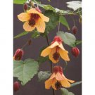 USA SELLER STar Sprite Abutilon 10 seeds